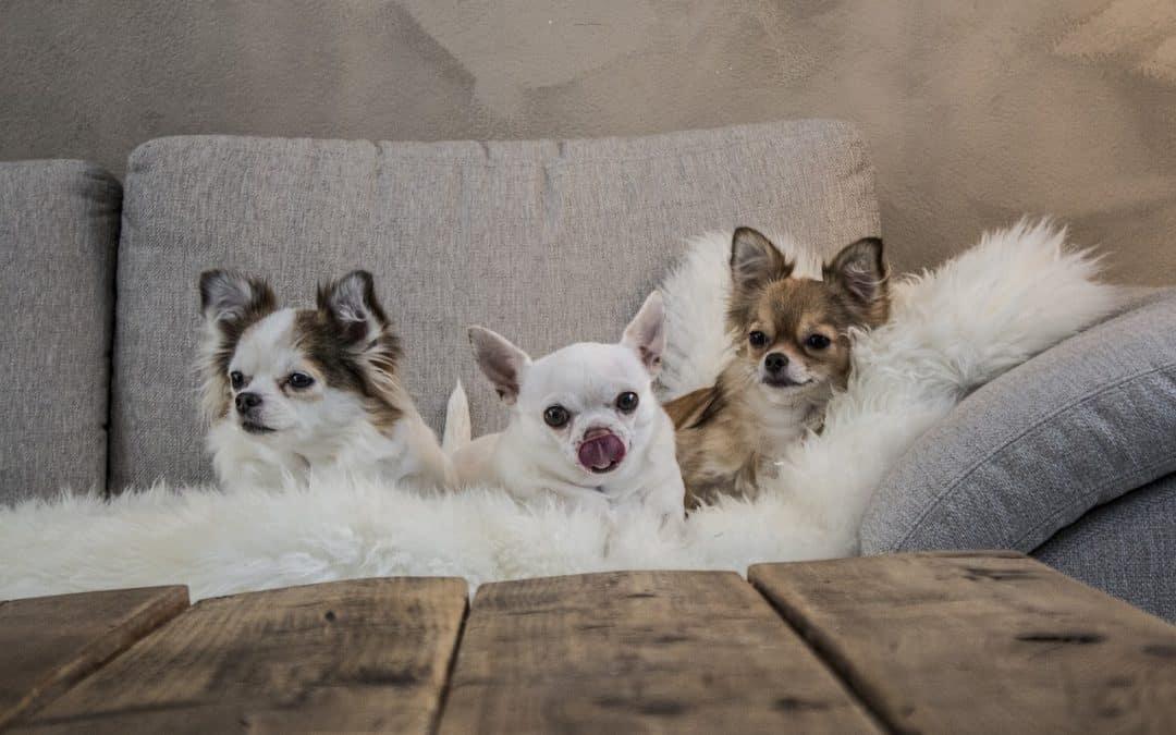 Cani da appartamento: le razze e quali scegliere